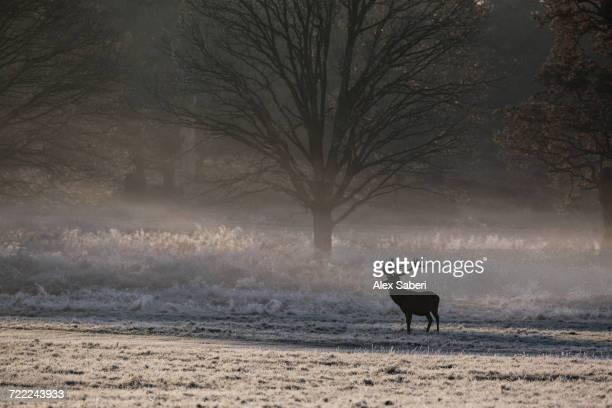 """richmond park, london, england."" - alex saberi fotografías e imágenes de stock"