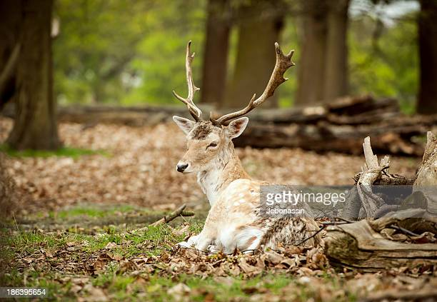 richmond park - jcbonassin stock pictures, royalty-free photos & images