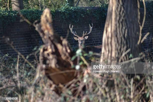 Richmond Park Red Herd