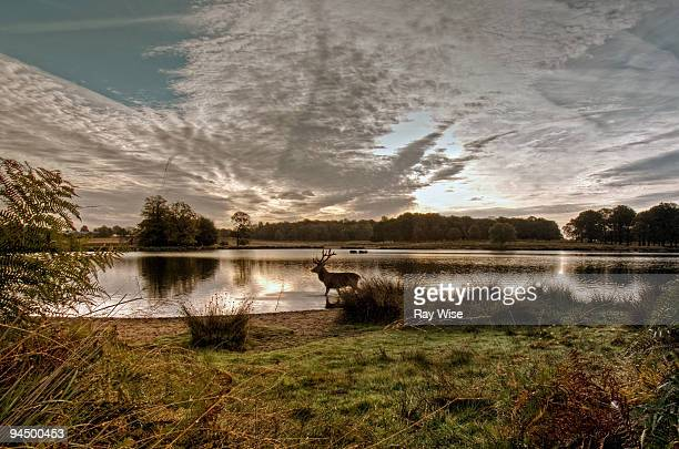 richmond park stag in lake - richmond park stock pictures, royalty-free photos & images