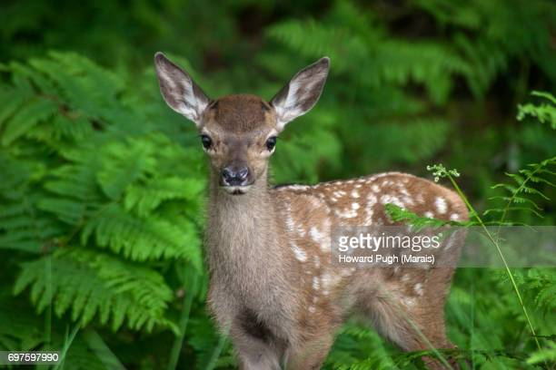 richmond park: typical countryside scenes - fawn stock photos and pictures