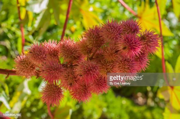 ricinus communis gibsonii plant - ramo parte de uma planta imagens e fotografias de stock