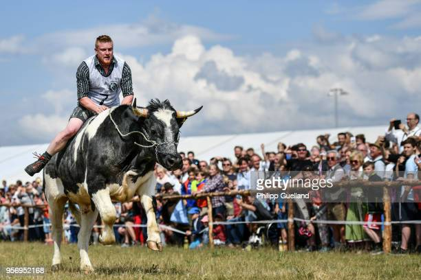A rider clings to his ox during a race on Ascension in Bavaria on May 10 2018 in Taufkirchen Germany Ox racing is a sport in Bavaria though when a...