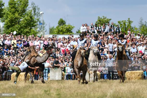 Riders cling to camels during a race on Ascension in Bavaria on May 10 2018 in Taufkirchen Germany Ox racing is a sport in Bavaria though when a...