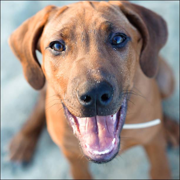 Ridgeback puppy