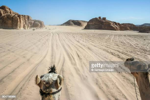riding a camel in sinai desert - tourism in south sinai stock pictures, royalty-free photos & images