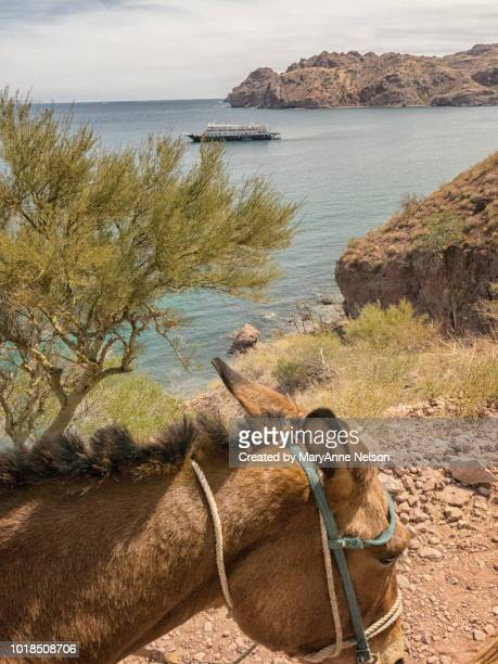 riding a donkey in the baja with a view of sea - mexican riding donkey stock photos and pictures