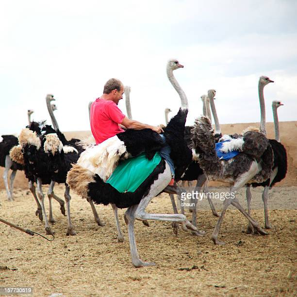 riding a ostrich - ostrich stock pictures, royalty-free photos & images