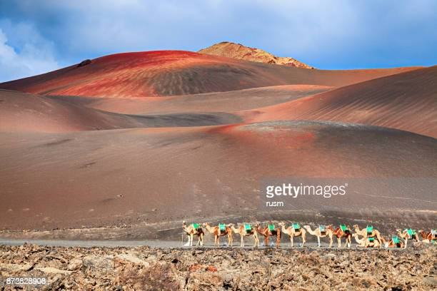 Riding camels are waiting for tourists in Timanfaya National Park, Lanzarote, Canary Islands.