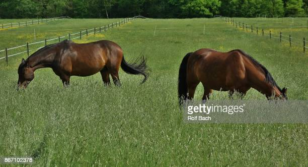 riding horses on the paddock near leonberg - paddock stock photos and pictures