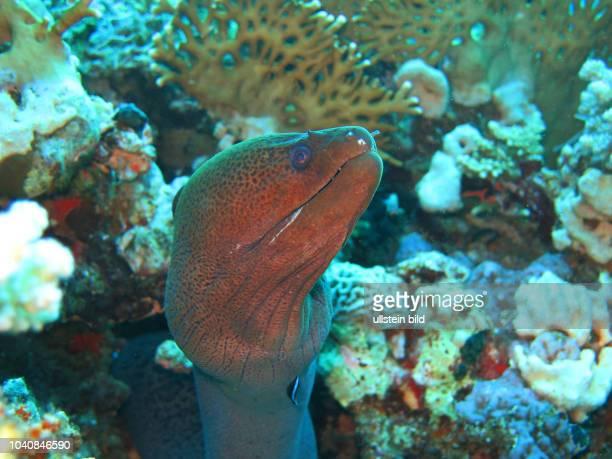 Riesenmuraene , Korallenriff, St. Johns-Riff, Rotes Meer, Aegypten