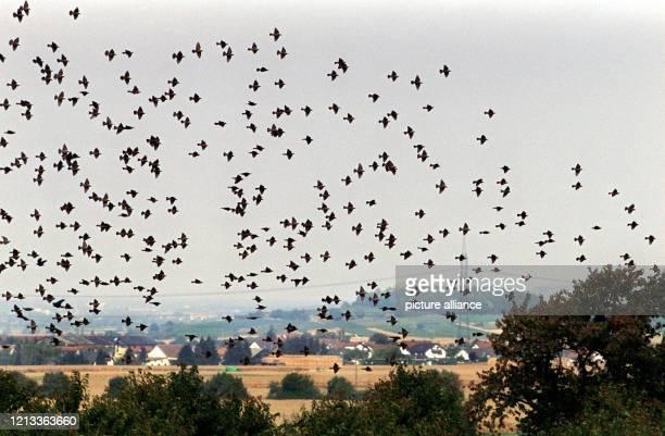 Riesige Schwärme von Staren ziehen in diesen Tagen wie hier am 8101997 bei Staufen im badischen Breisgau im Oberrheintal über das Land Auf ihrer...