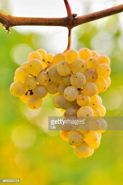 Riesling grapes, Baden-Wuerttemberg, Germany