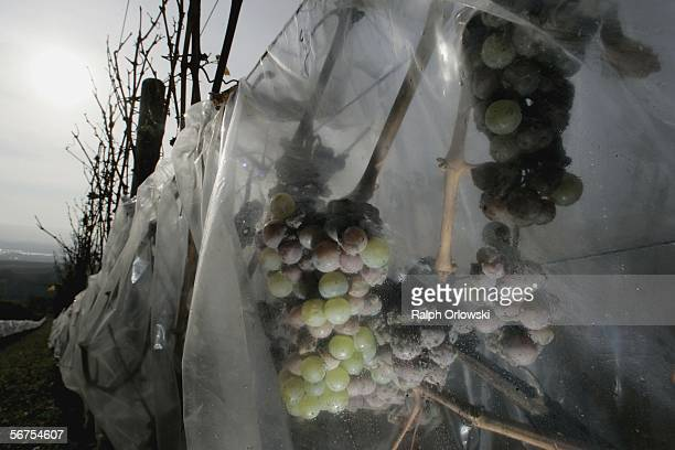 Riesling grapes protected with plastic foil against rain are seen on a vineyard of the winegrowing estate Schloss Vollrads November 9 2005 in...