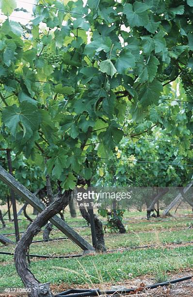 LILLYDALE TASMANIA AUSTRALIA Riesling vines in north east Tasmania Little more than 20 years ago people scoffed at the idea of growing grapes on the...
