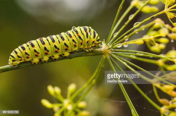 riga,latvia - farfalla a coda di rondine foto e immagini stock