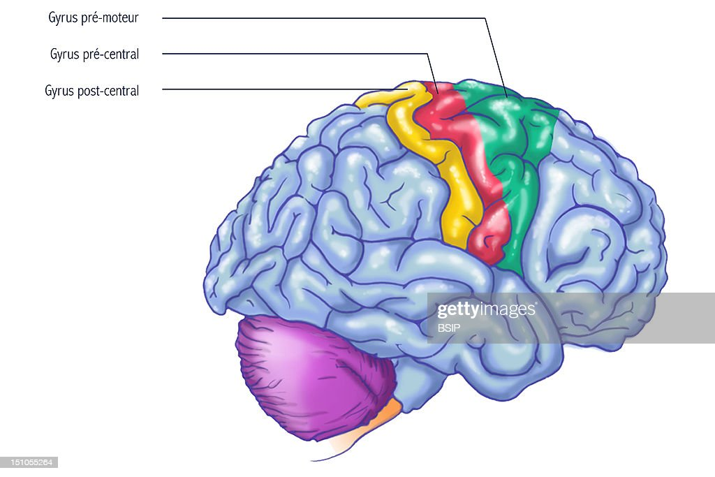 Parietal Lobe Stock Photos and Pictures | Getty Images