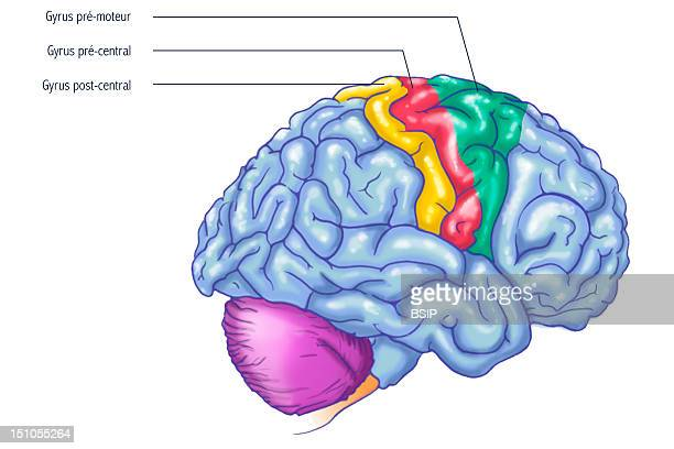 Right Hemisphere Of The Brain Three Important Regions Of The Frontal Lobe Of The Brain Are Highlighted The Pre Motor Gyrus In Green That Includes The...