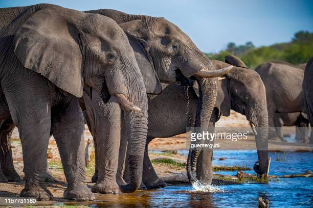 right in the middle of an elephant herd, botswana - okavango delta stock pictures, royalty-free photos & images