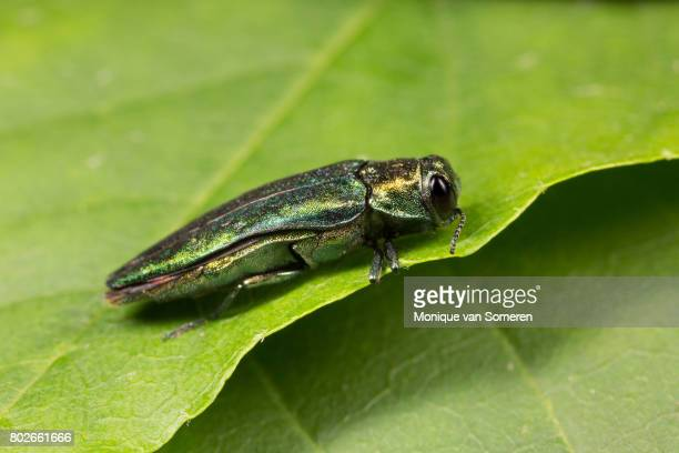right side view of the emerald ash borer - ash stock pictures, royalty-free photos & images