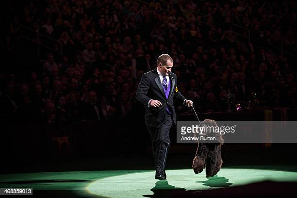 Riley an Irish water spaniel competes in the Best in Show category in the Westminster Dog Show on February 11 2014 in New York City The Best in Show...