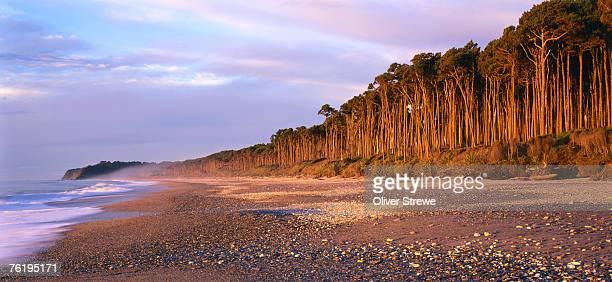 Rimu Forest, Bruce Bay, South Island, West Coast, New Zealand, Australasia
