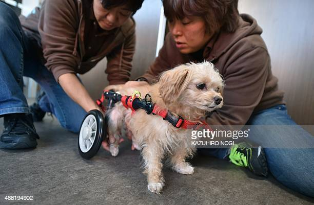 'Rinchan' an 8yearold female dog who is paralyzed in her hind legs has an auxiliary wheel attached to her body to aid her walking training at the...