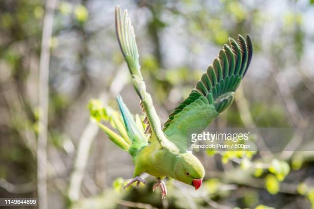 ring necked parakeet female - ワカケホンセイインコ ストックフォトと画像