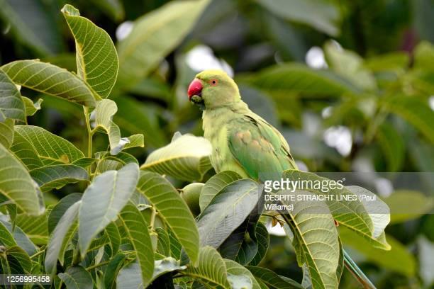 ring necked parakeet (psittacula krameri) in a walnut tree - ワカケホンセイインコ ストックフォトと画像