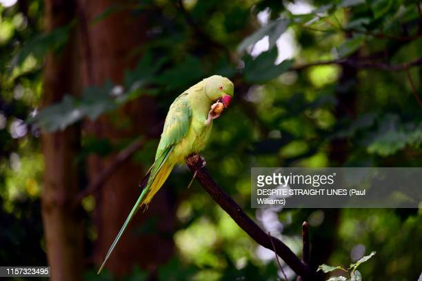 ring necked parakeet (psittacula krameri) in kensington gardens - ワカケホンセイインコ ストックフォトと画像
