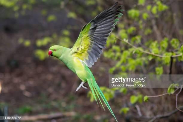 ring necked parakeet - ワカケホンセイインコ ストックフォトと画像