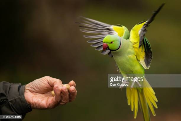 Ring necked parakeets in St James's Park on November 06, 2020 in London, England