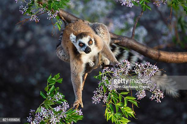 ring tailed lemur, catta, in the anja community reserve, ambalavao, madagascar - lemur stock pictures, royalty-free photos & images