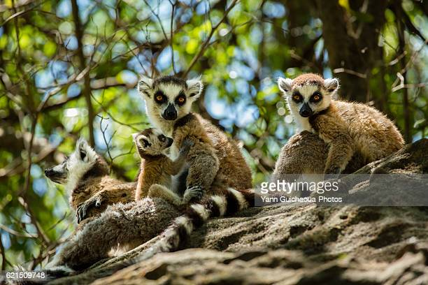 ring tailed lemur, catta, in the isalo national park, madagascar - lemur stock pictures, royalty-free photos & images