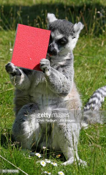 A ring tailed lemur holds up a honey coated red card at Whipsnade Zoo in Bedfordshire