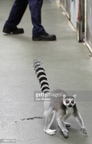 Ring Tailed Lemur is pictured at Heathrow Airport's Animal Reception Centre on January 25 2011 in London England Many animals pass through the...