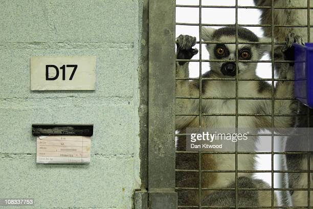 Ring Tailed Lemur looks from it's cage at Heathrow Airport's Animal Reception Centre on January 25 2011 in London England Many animals pass through...