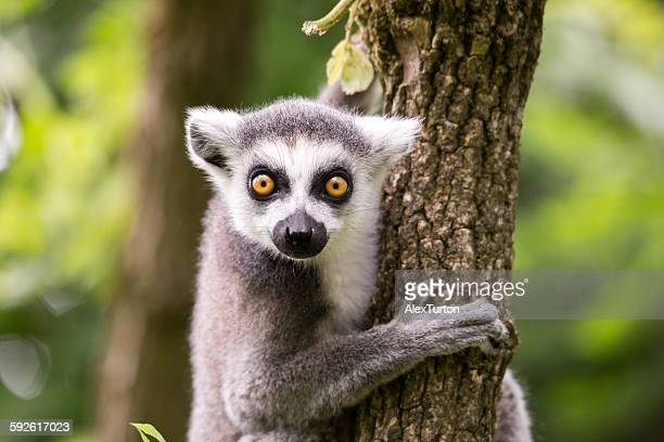 ring tailed lemur on a tree - civet cat stock photos and pictures