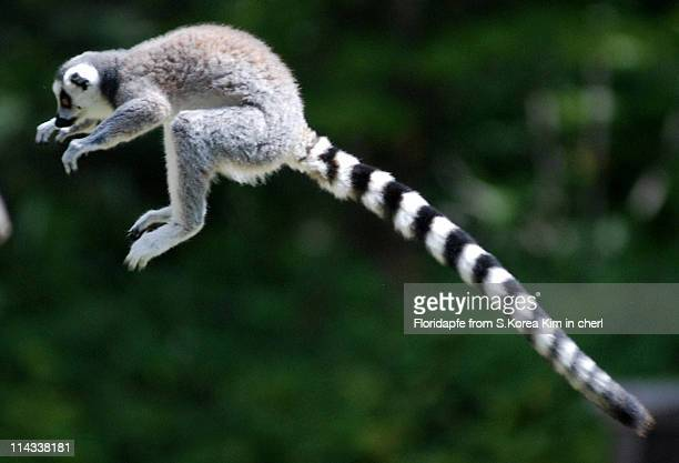 ring tailed lemur - lemur stock pictures, royalty-free photos & images