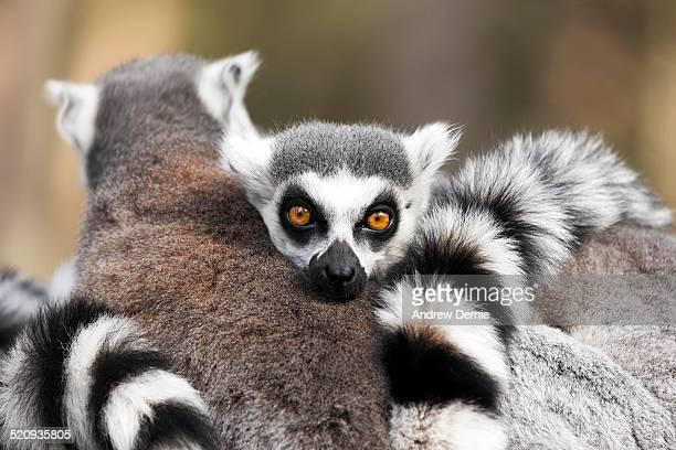 ring tailed lemur, - andrew dernie stockfoto's en -beelden