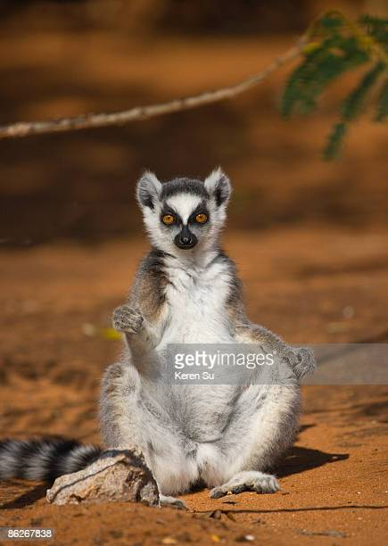ring tailed lemur (lemur catta) - lemur stock pictures, royalty-free photos & images