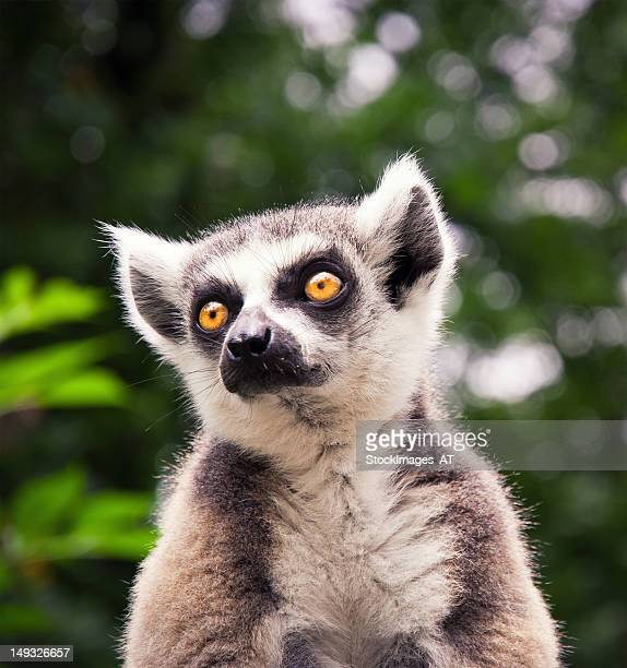 ring tailed lemure sitting on a roof - lemur stock pictures, royalty-free photos & images