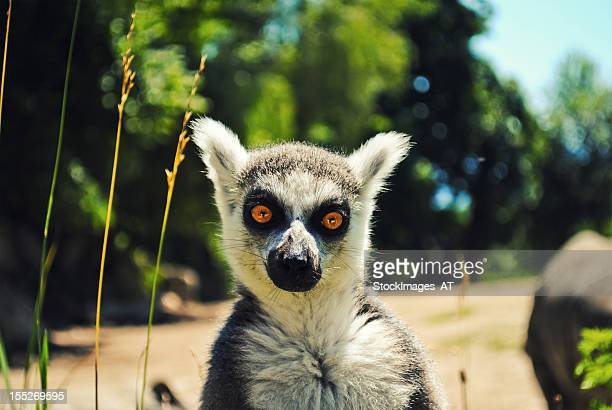 ring tailed lemure staring at the camera - lemur stock photos and pictures