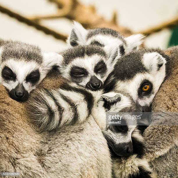 ring tailed lemurs sleeping - lemur stock photos and pictures