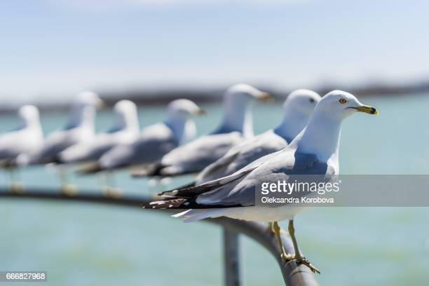 ring-billed seagulls on a sunny day at the toronto harbourfront, lake ontario. - istock photos et images de collection