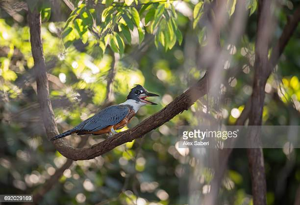 a ringed kingfisher, megaceryle torquata, perching on branch the of tree waiting to fish in the amazon river. - alex saberi stock-fotos und bilder