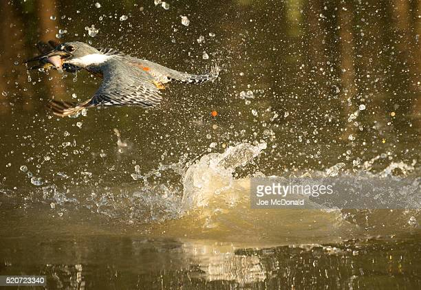 ringed kingfisher - piranha stock pictures, royalty-free photos & images