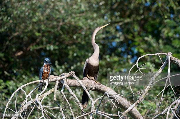 Ringed kingfisher with Anhinga in background in a tree at a tributary of the Cuiaba River near Porto Jofre in the northern Pantanal, Mato Grosso...