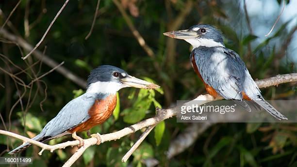 ringed kingfishers, megaceryle torquata; large, conspicuous and noisy. - alex saberi photos et images de collection