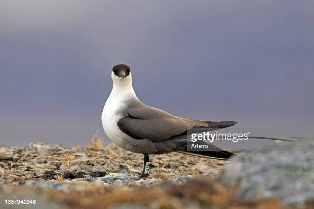 Ringed long-tailed skua. Long-tailed jaeger on the tundra wearing geolocator on its leg, Svalbard. Spitsbergen, Norway.